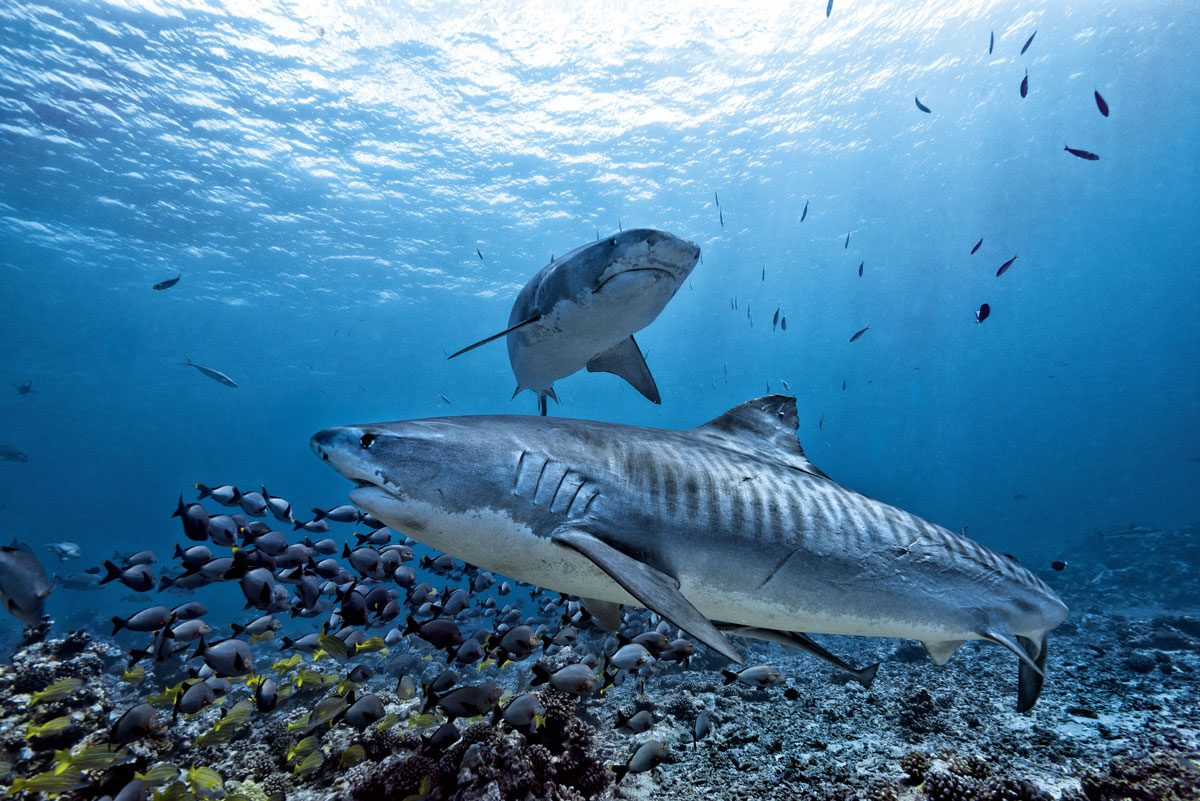 tiger shark diving in French Polynesia