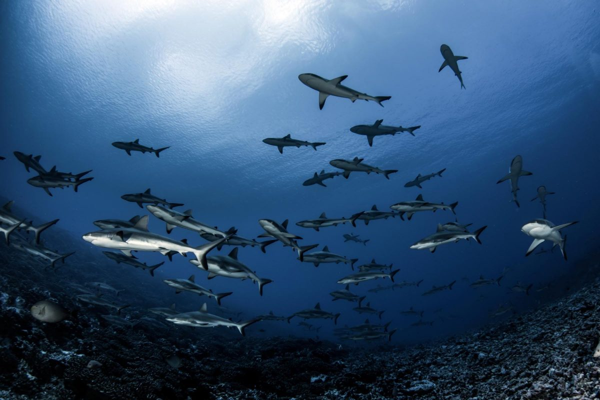 shark diving in French Polynesia