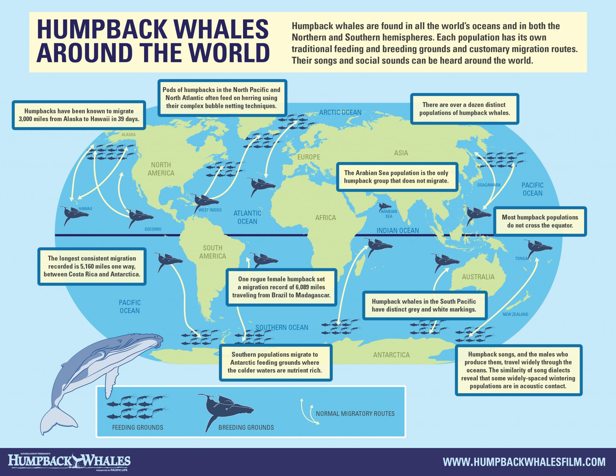 Humpback whale infographic.