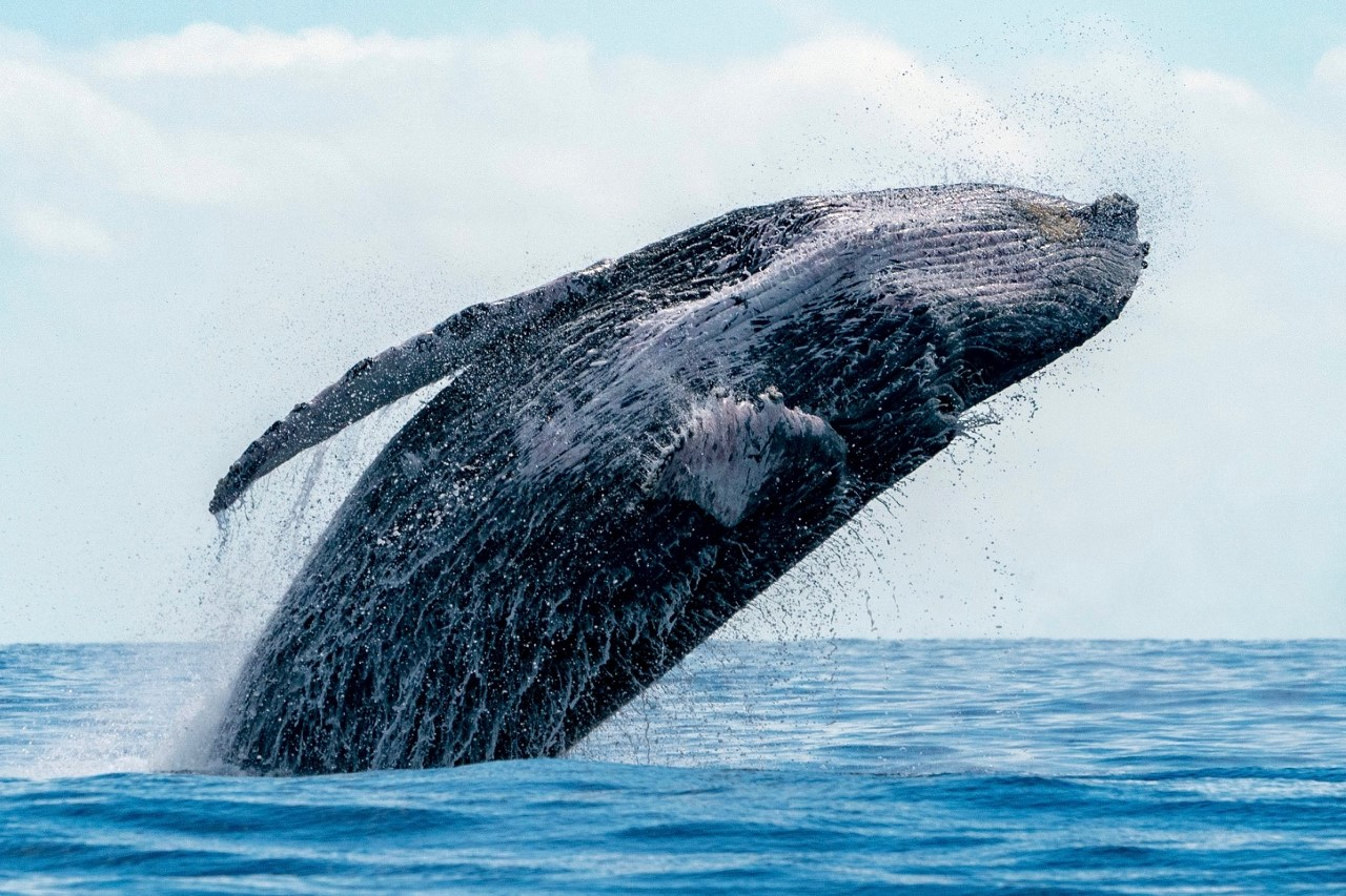 Humpback whale watching tours in Cabo San Lucas