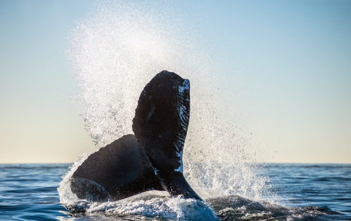 Humpback whale watching in Cabo San Lucas Mexico