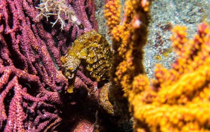Seahorse hanging on fast to coral - come find them with Dive Ninjas!