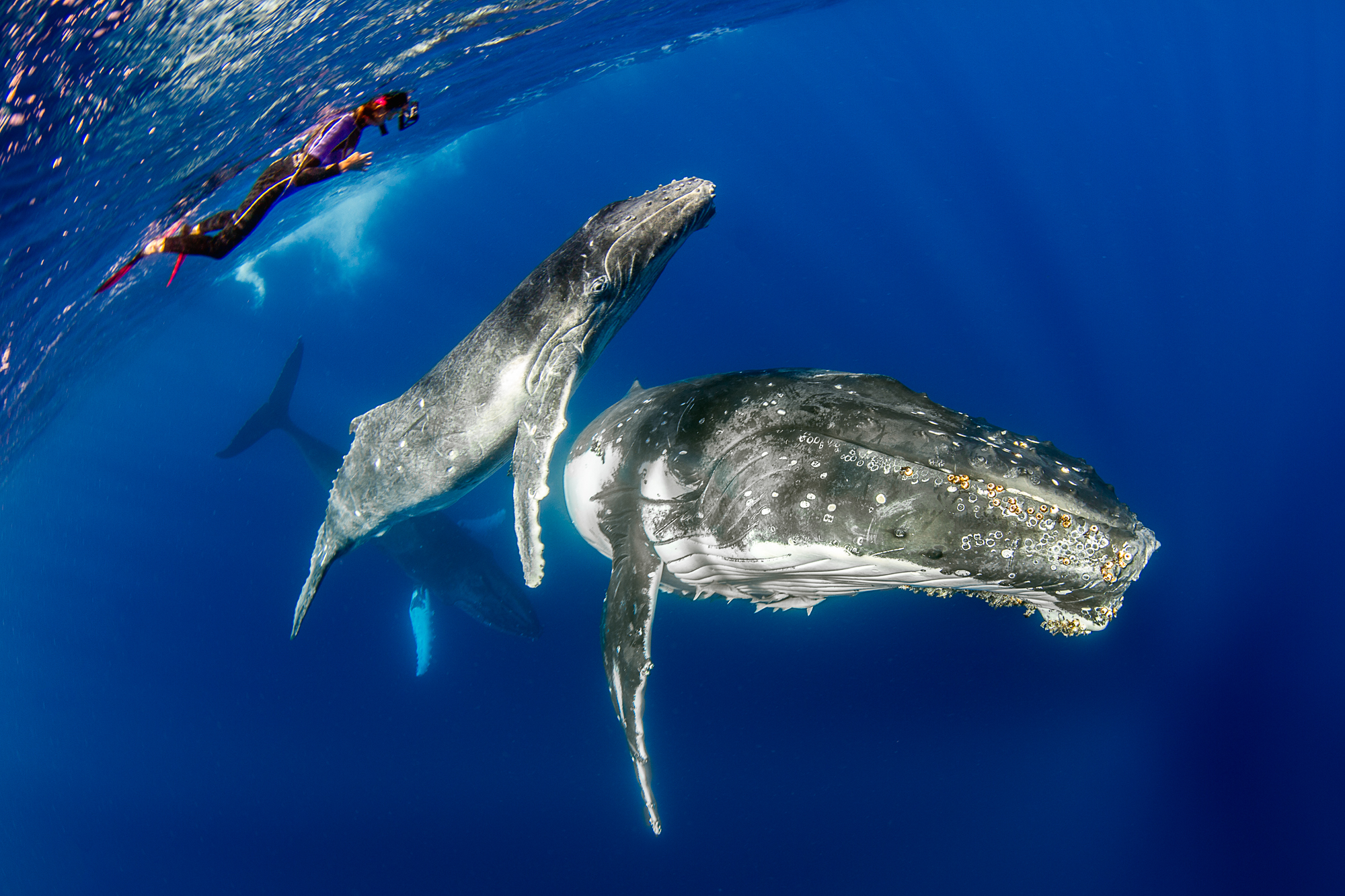 freediving & snorkeling with humpback whales in Vava'u, Tonga
