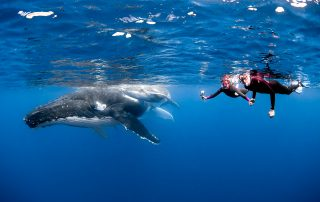 snorkelers with baby humpback whale in Vava'u Tonga