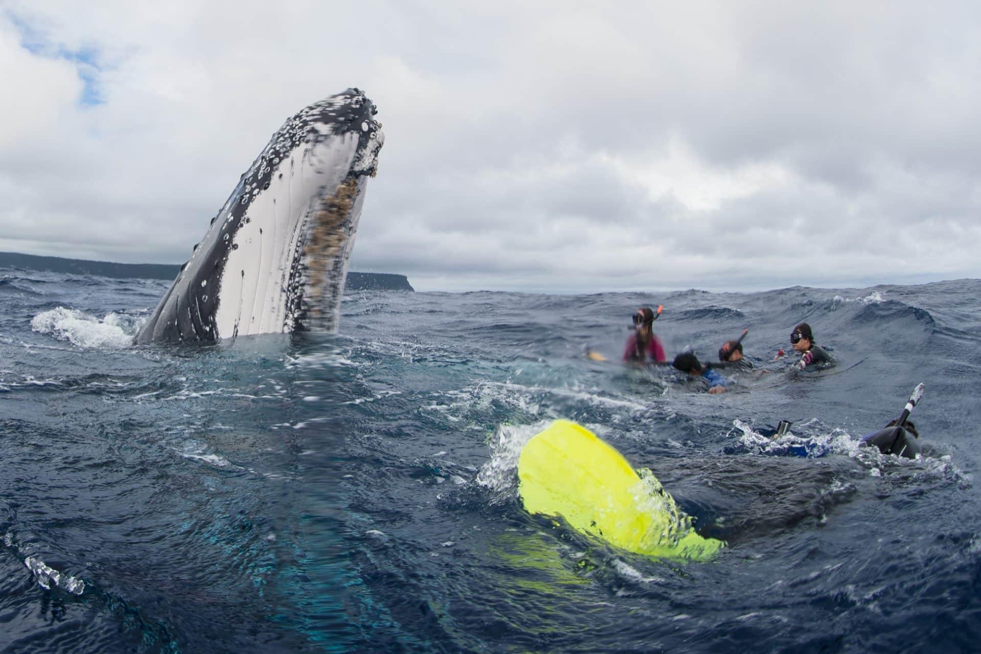 swimming with humpback whales in Vava'u, Tonga