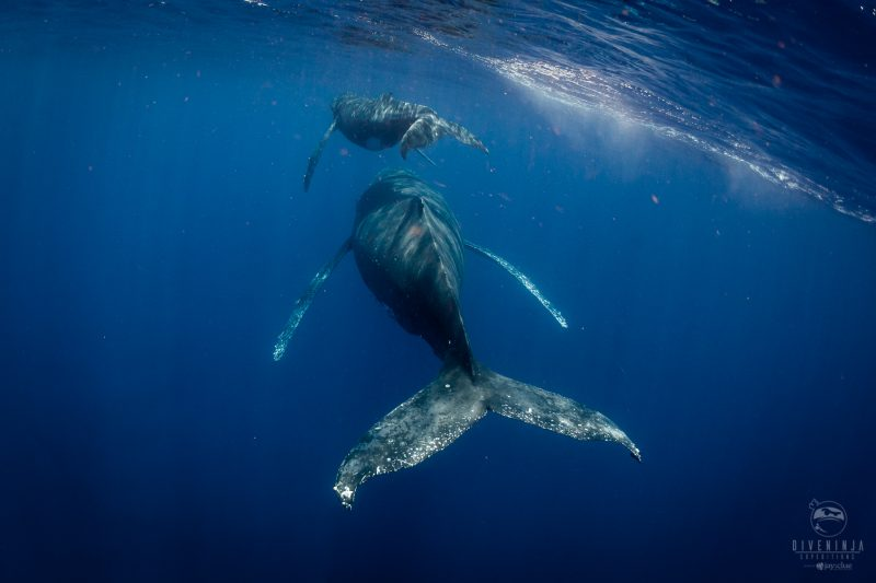 Diving in Tonga with humpback whales. Photo by Jay Clue, for Dive Ninja Expeditions