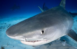 Diving with Tiger Sharks in Bahamas