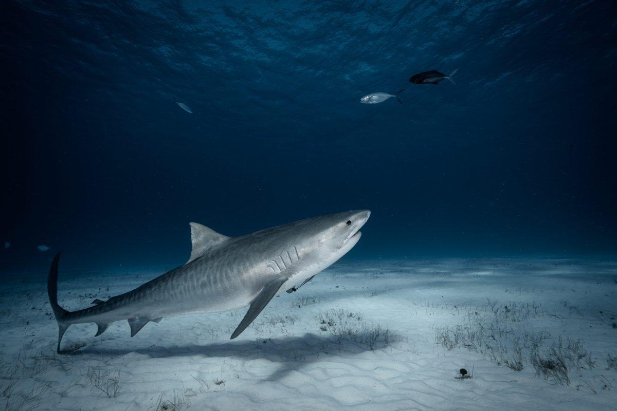 Tiger shark diving in Bimini Bahamas