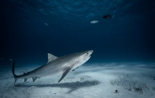Tiger shark diving in Bimini Bahamas