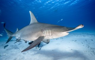 Diving with great hammerheads in Bimini, The Bahamas. Photo by Jay Clue, Dive Ninja Expeditions