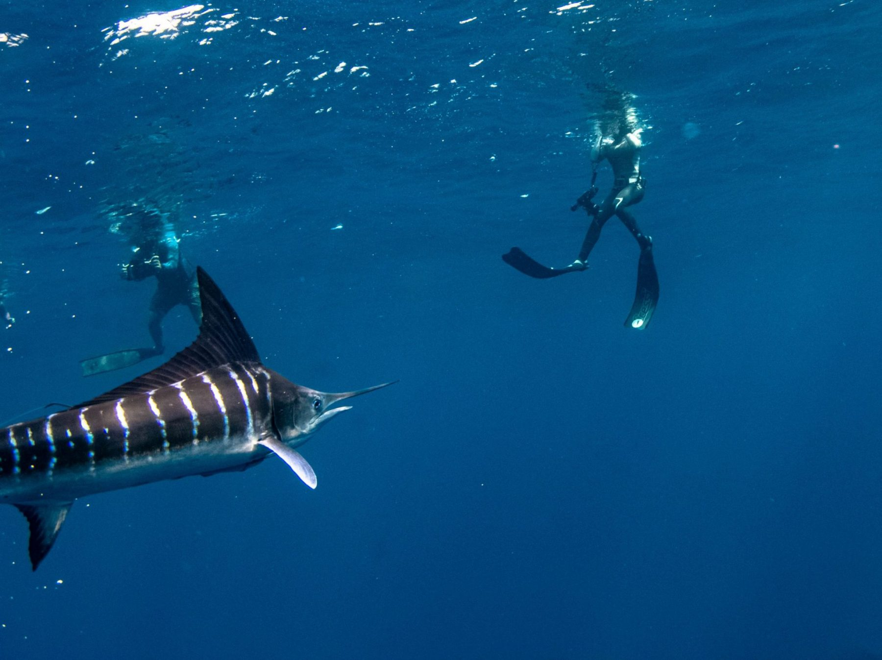 Swimming with Striped Marlins in Baja California Mexico