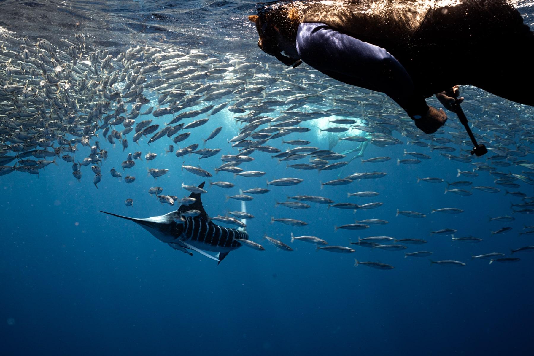 Freediving with Striped Marlins In Bahia Magdalena in Baja California
