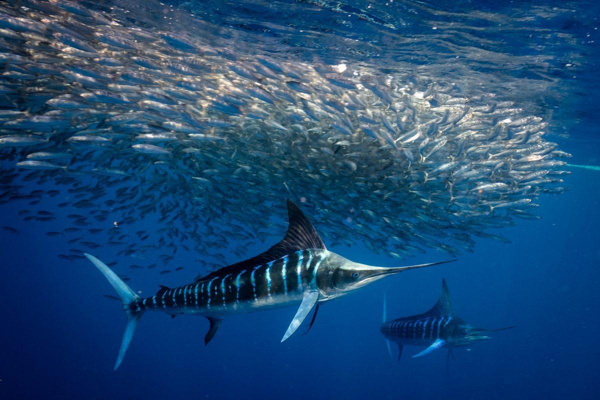 Swimming with Striped Marlins Hunting Baitballs, Magdalena Bay, Mexico