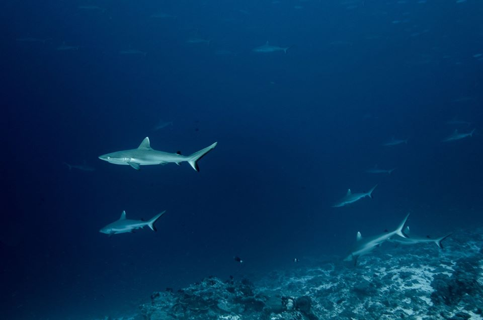 Schools of grey reef sharks - on expedition with Dive Ninjas in the Maldives