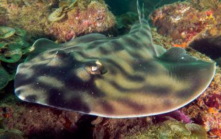 Banded Guitar fish ray or shark in Cabo San Lucas