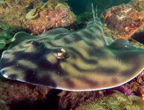 Meet The Locals: Banded Guitarfish