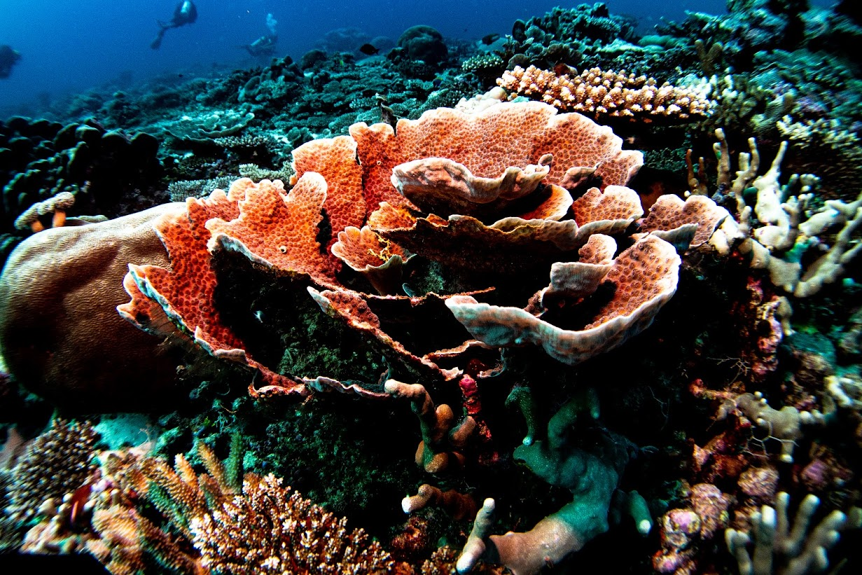Beautiful coral reefs in the Maldives. On expedition with Dive Ninjas