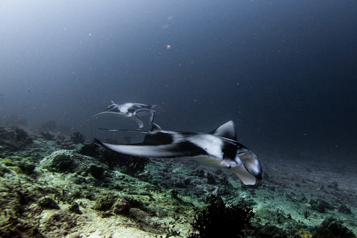Manta train in the Maldives! On expedition with Dive Ninjas