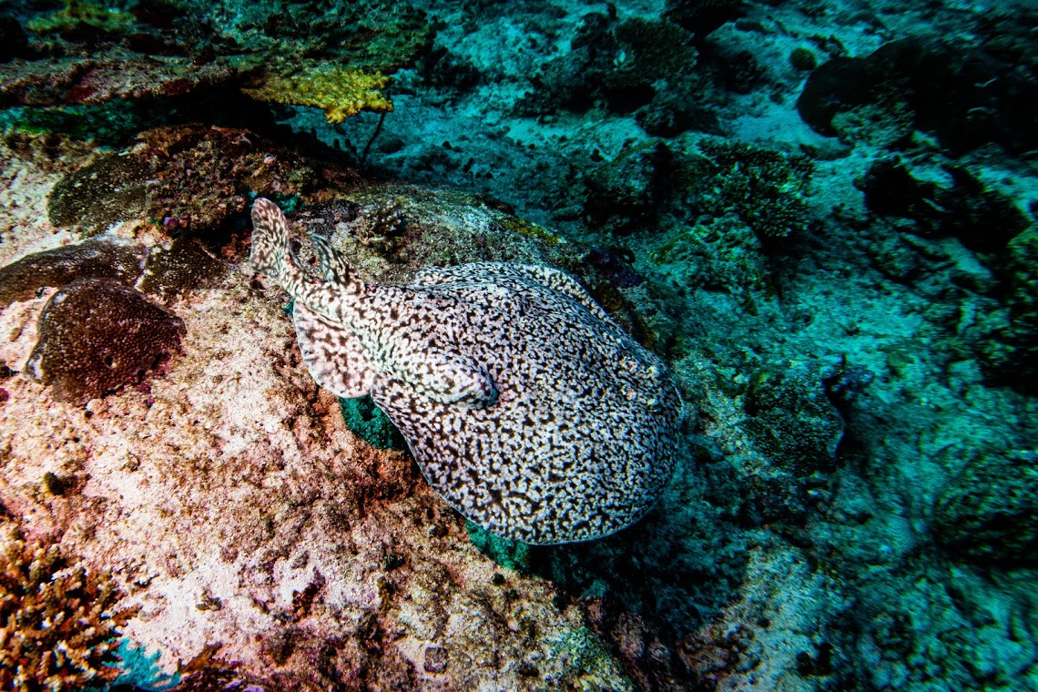 A torpedo ray in the Maldives! On expedition with Dive Ninjas