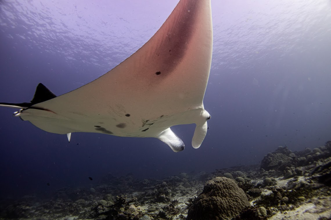 Beautiful reef manta at a cleaning station in the Maldives, on expedition with Dive Ninjas