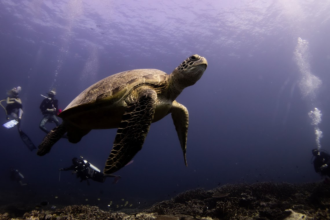 Green turtle on the reef in the Maldives, on expedition with Dive Ninjas