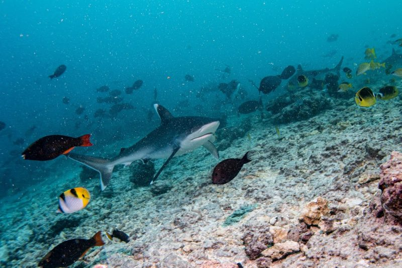 Silvertip sharks in the Maldives, on expedition with Dive Ninjas