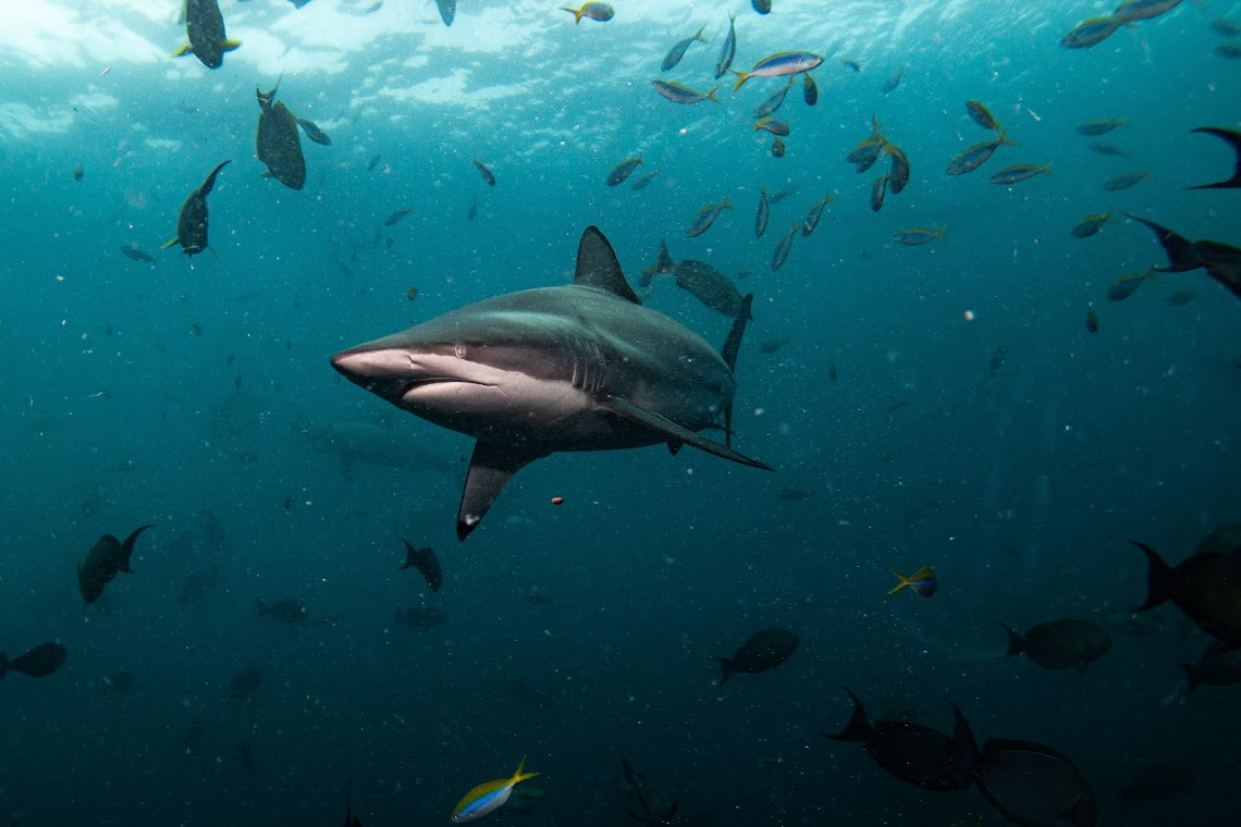 Oceanic blacktips in the Maldives, on expedition with Dive Ninjas