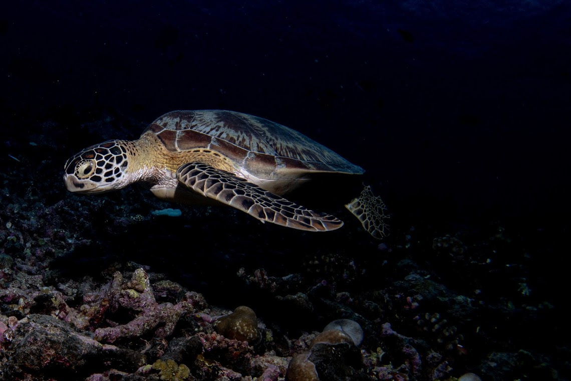 Turtle cruising the reef in Maldives, on expedition with Dive Ninjas