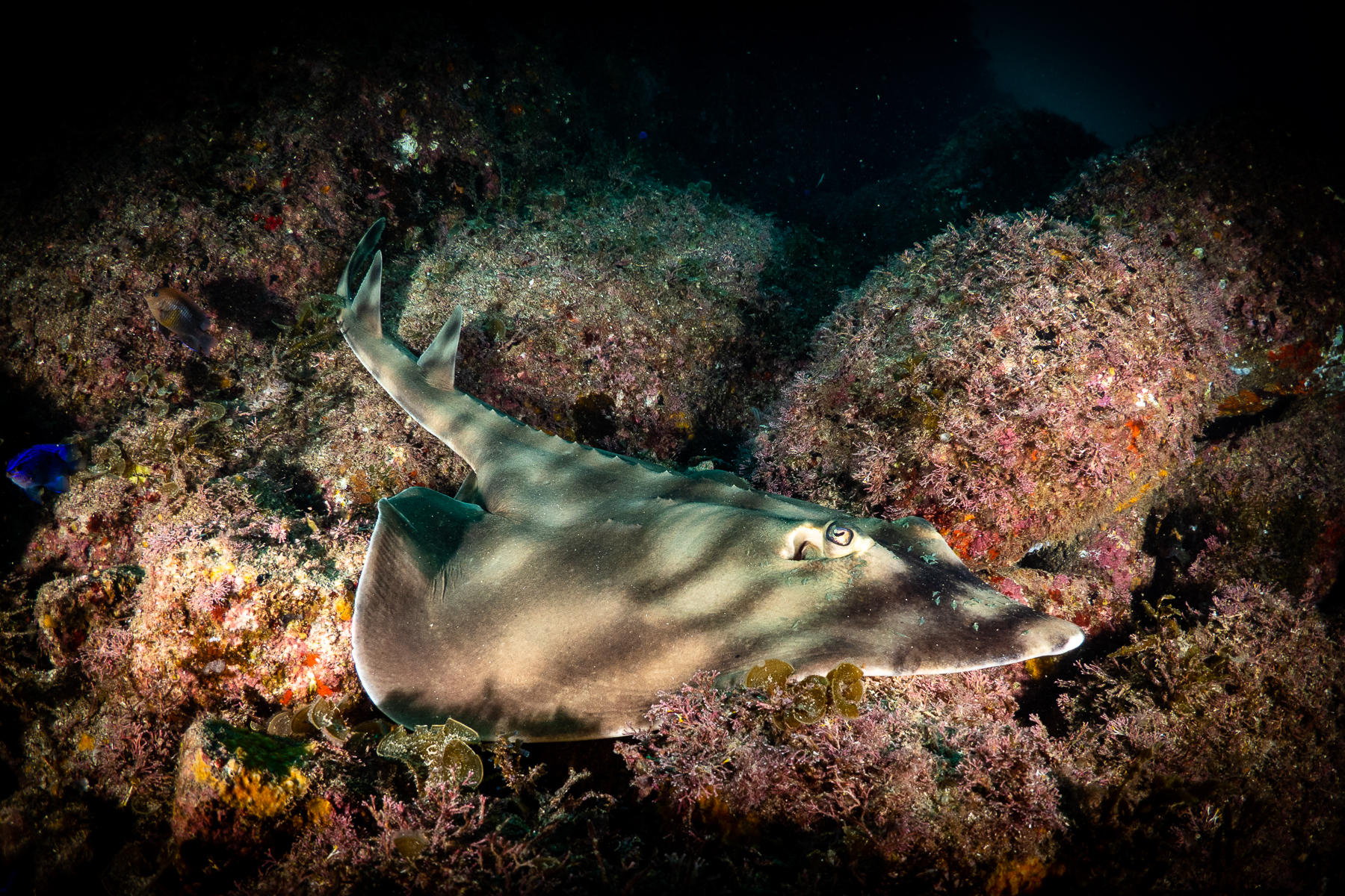 Diving with Banded Guitar fish ray or shark in Cabo San Lucas, Mexico