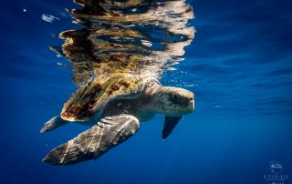 PADI Project AWARE Sea Turtle Awareness Distinctive Specialty course in Cabo San Lucas, Mexico