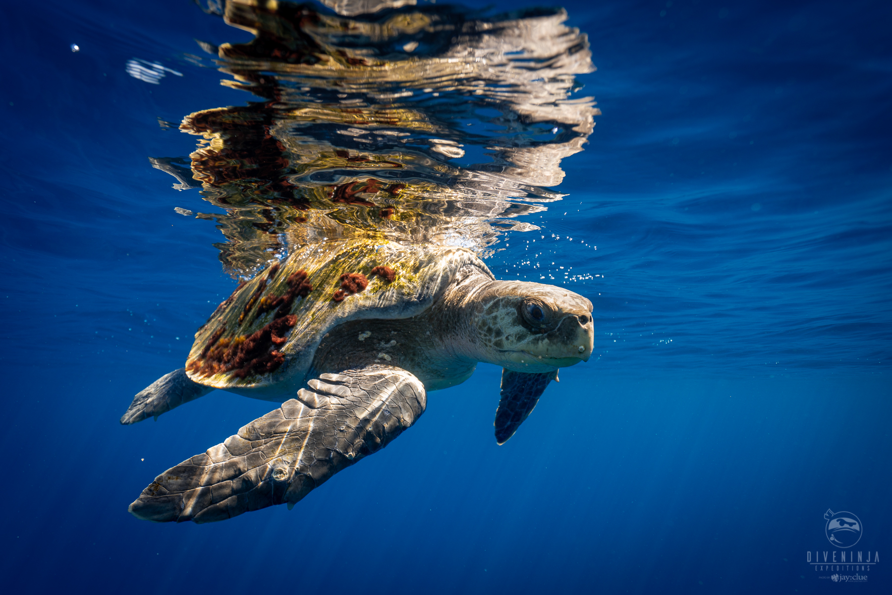 Freediving & scuba diving with sea turtles in Los Cabos