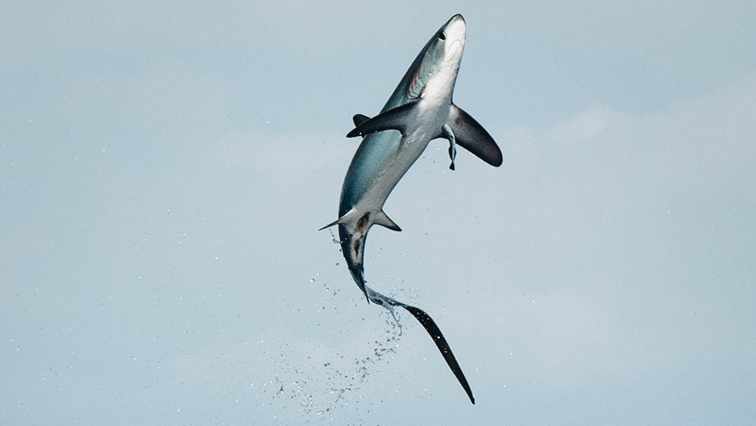 A thresher shark leaps clear out of the water. Come exploring with Dive Ninjas to witness these spectacles