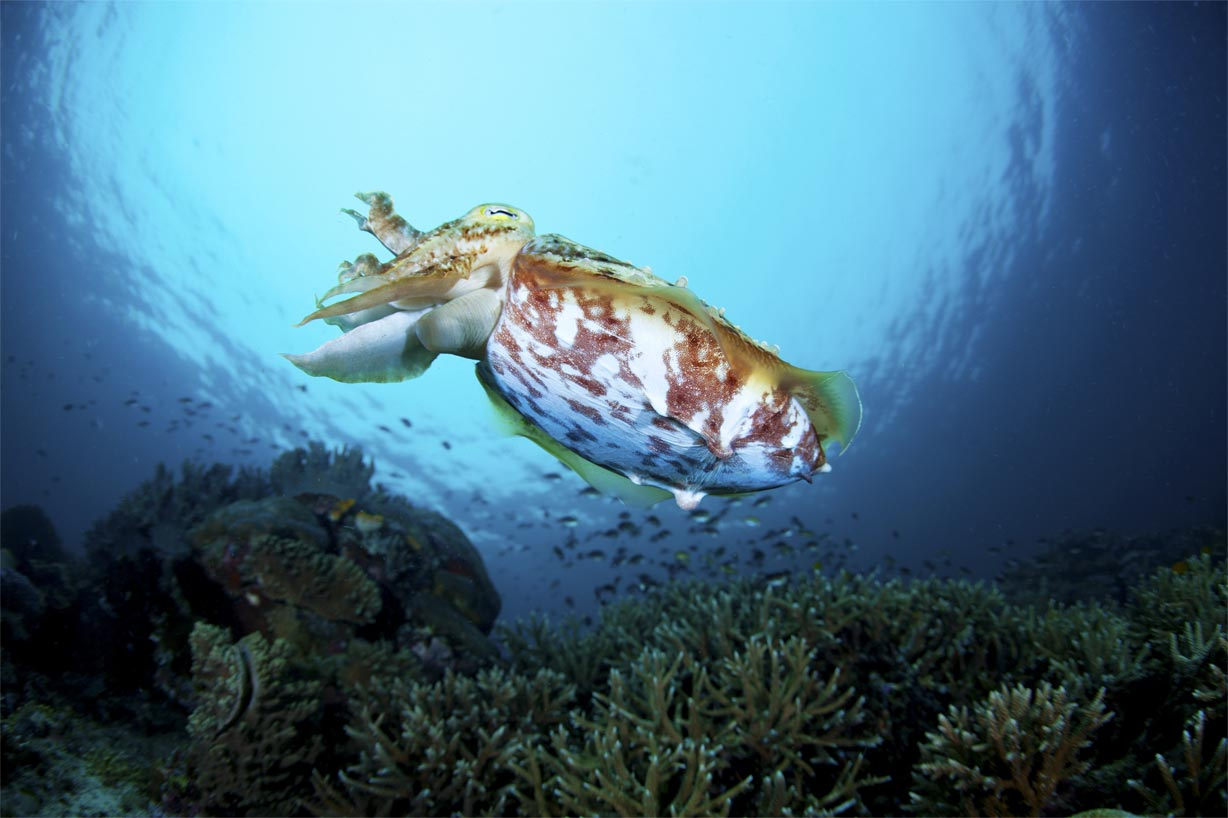 CuttleFish Diving in the Philippines