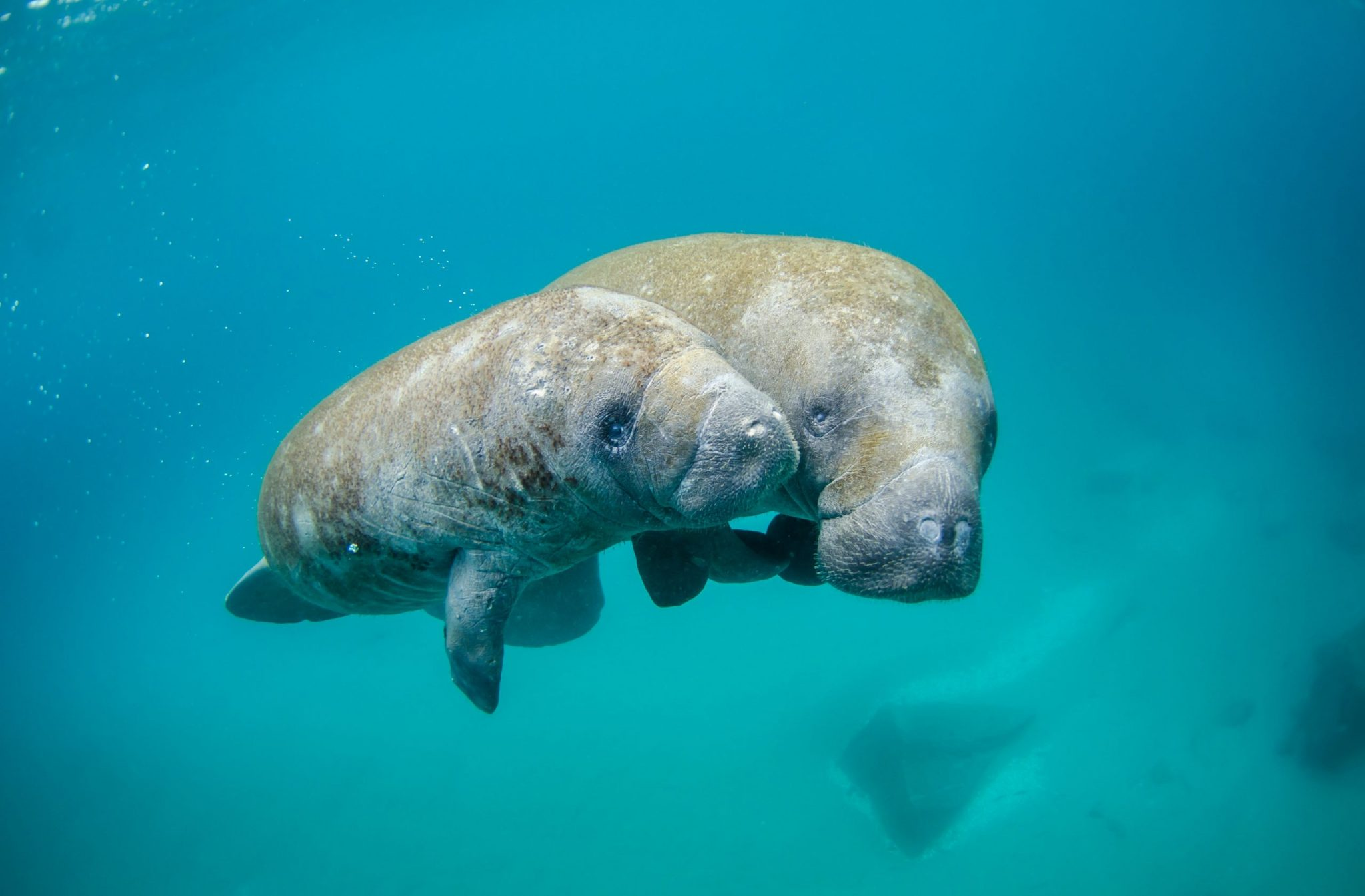 Mother and Calf Manatees for Ocean Conservation