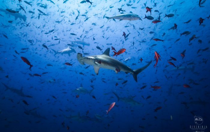 Diving with Hammerheads in the Galapagos with Dive Ninja Expeditions