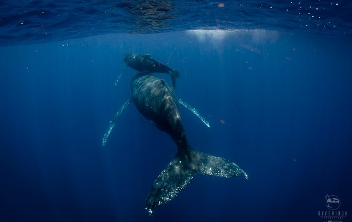 Swimming with Humpback Whales in Tonga With Dive Ninja Expeditions