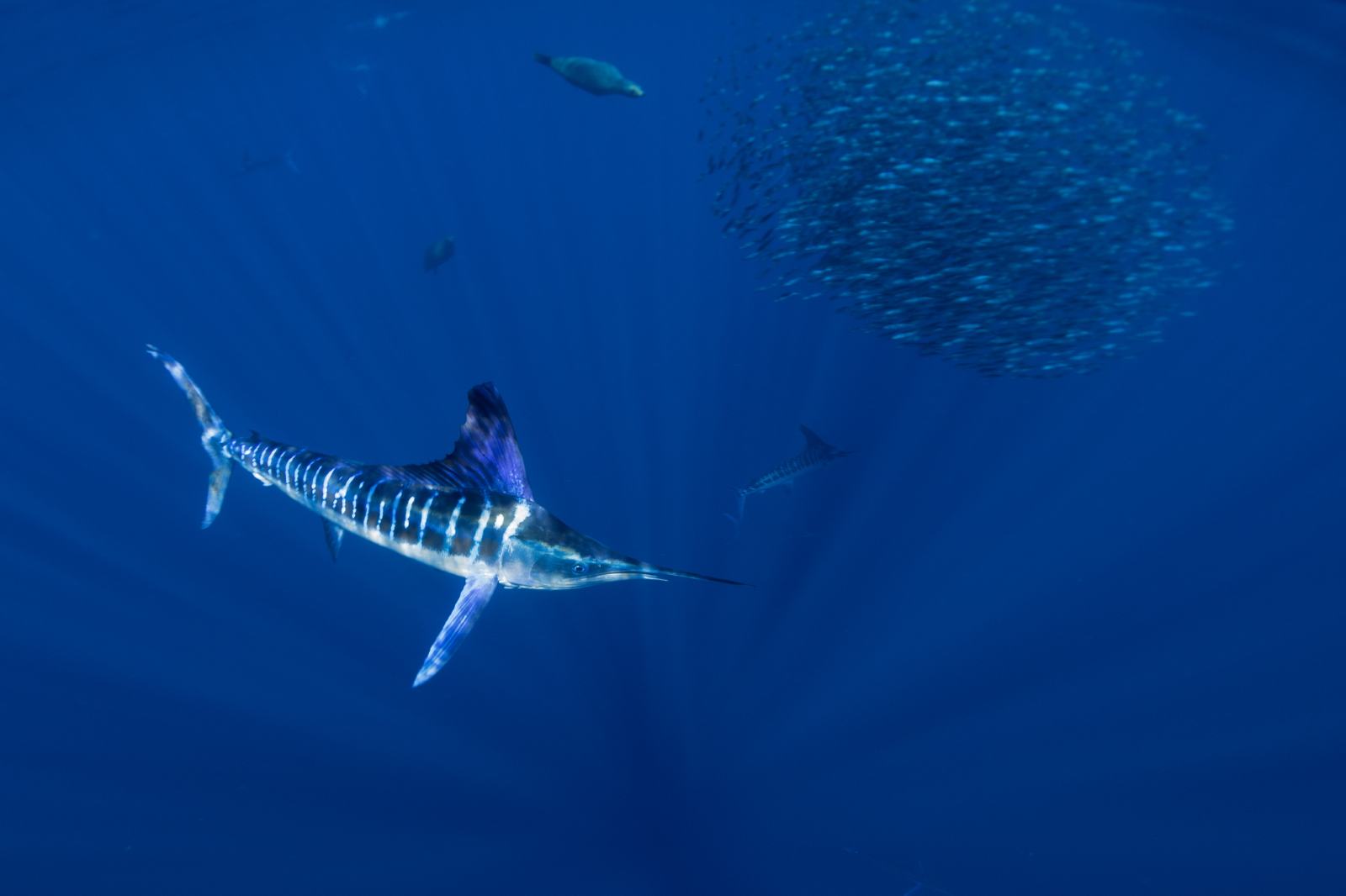 Striped Marlin, Magdalena Bay, Baja, Mexico