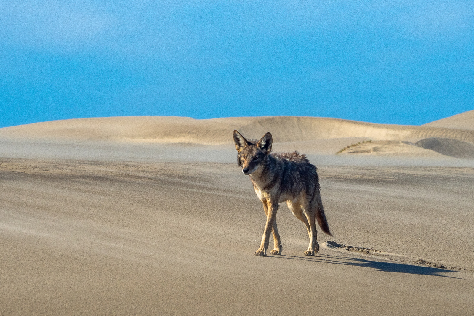 Coyote on dunes, Bahia Magdalena, Baja California Sur, Mexico