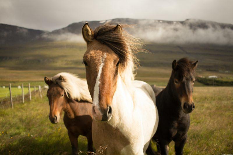 Horses - man's longtime fellow worker, and more dangerous than sharks