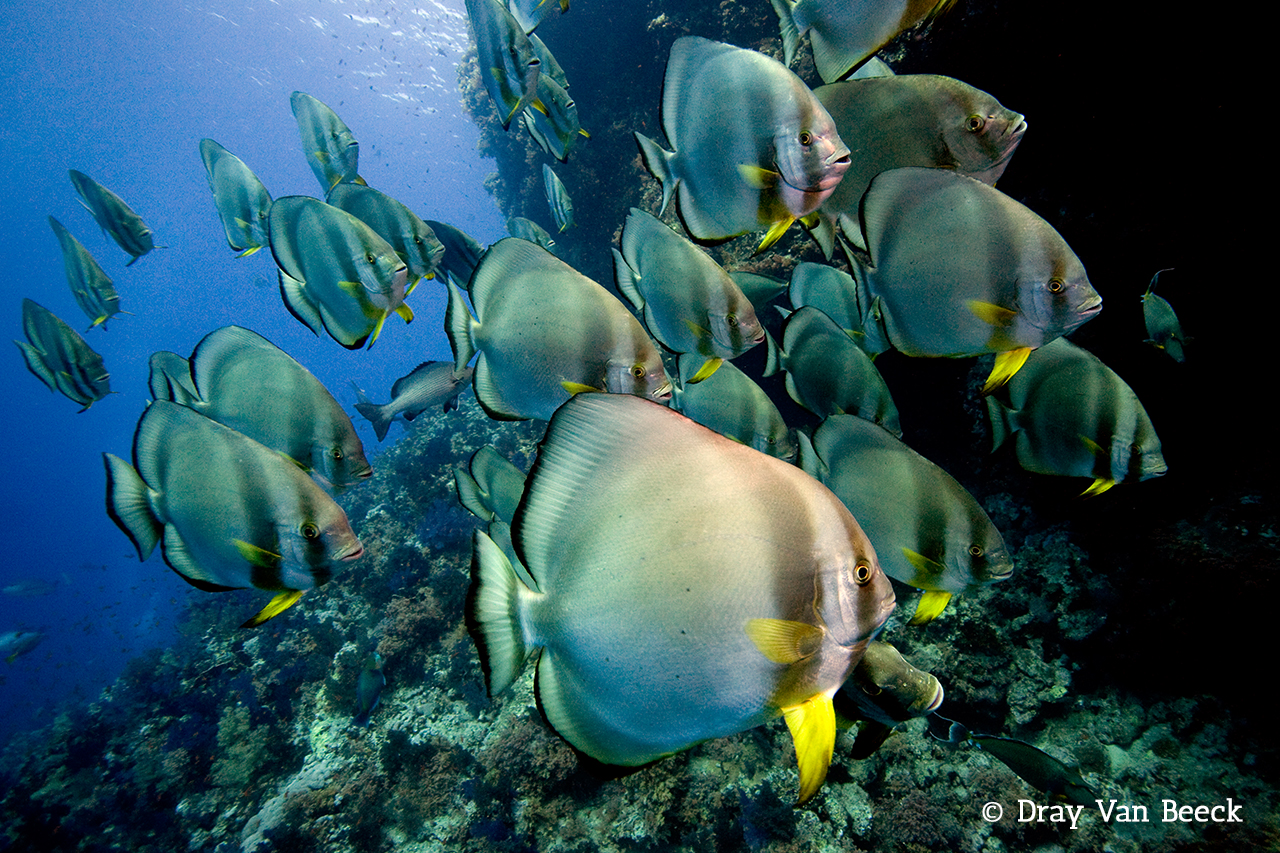 Schooling Bat Fish in the Red Sea