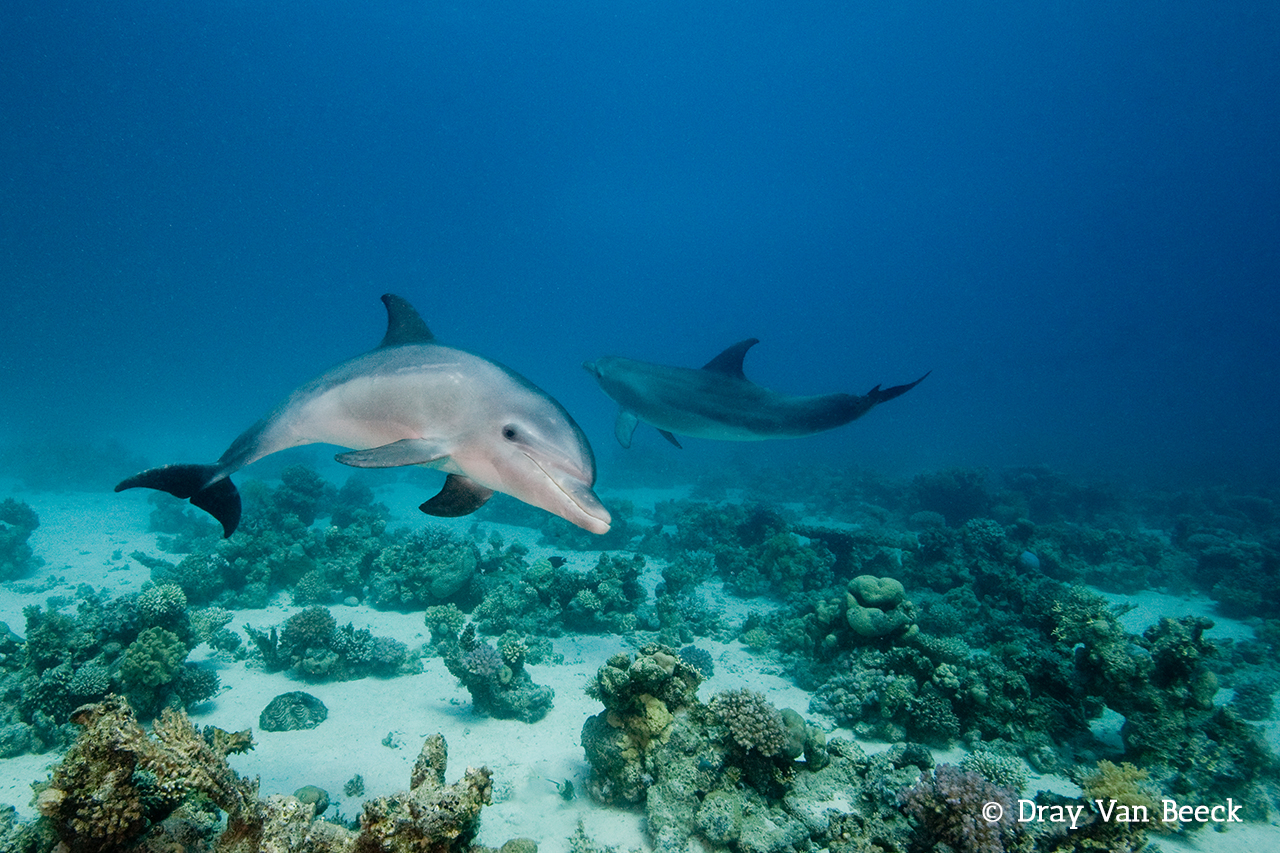 Diving with Dolphins in the Red Sea with Dive Ninja Expeditions on the Blue Melody Liveaboard