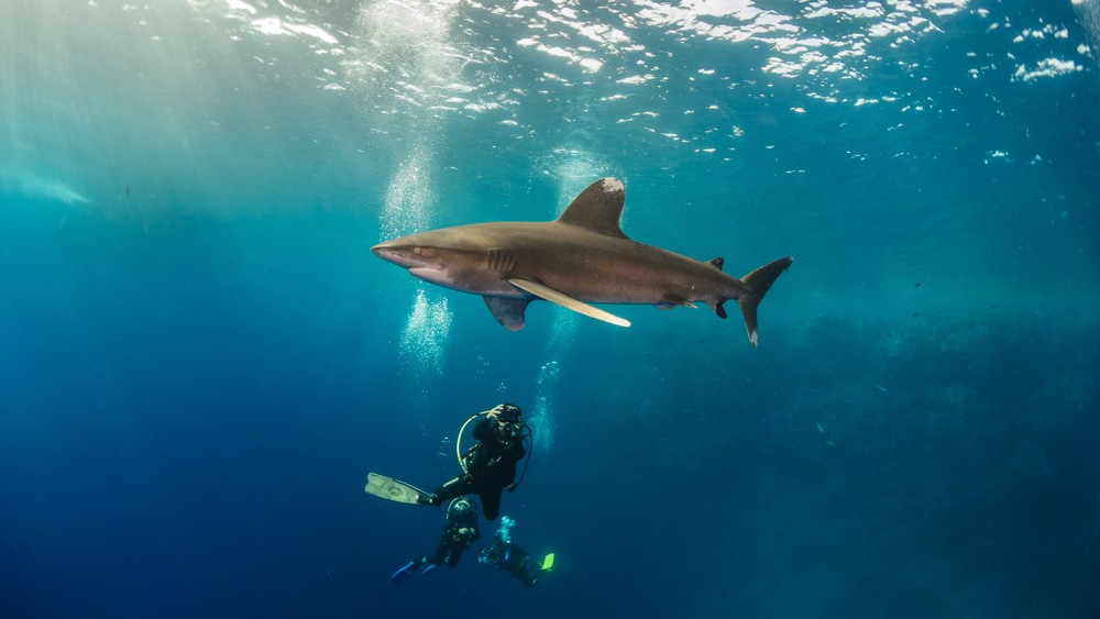 Diving with Thresher Sharks in the Red Sea with Dive Ninjas and Red Sea Shark Trust