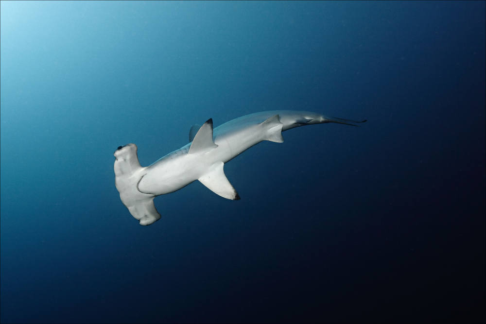 Hammerhead in the Red Sea