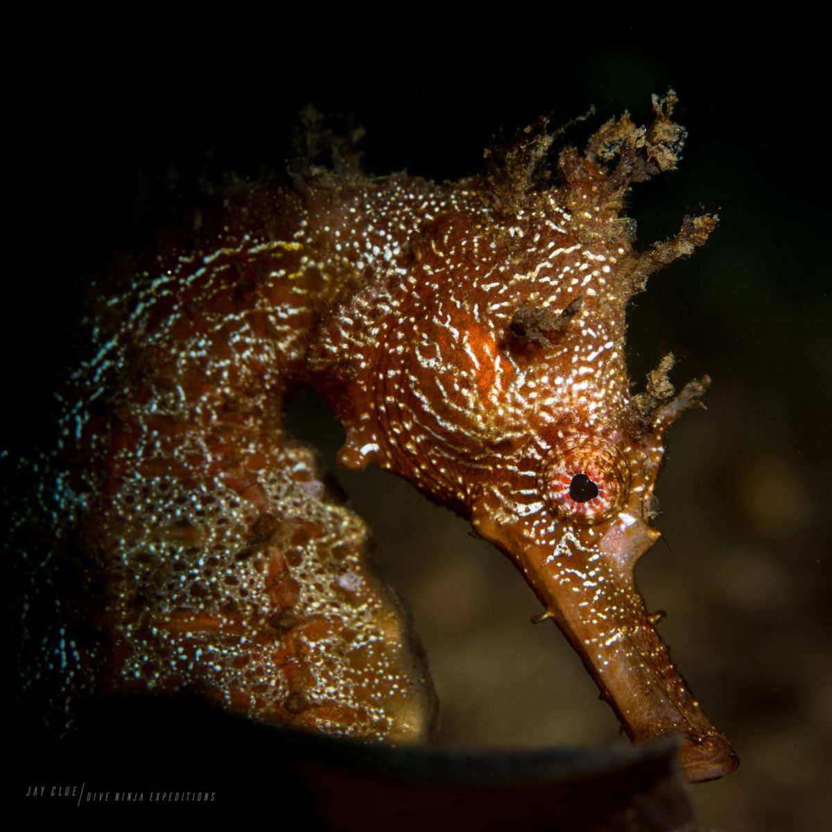 Seahorse while Scuba Diving in Cabo San Lucas Mexico with Dive Ninja Expeditions