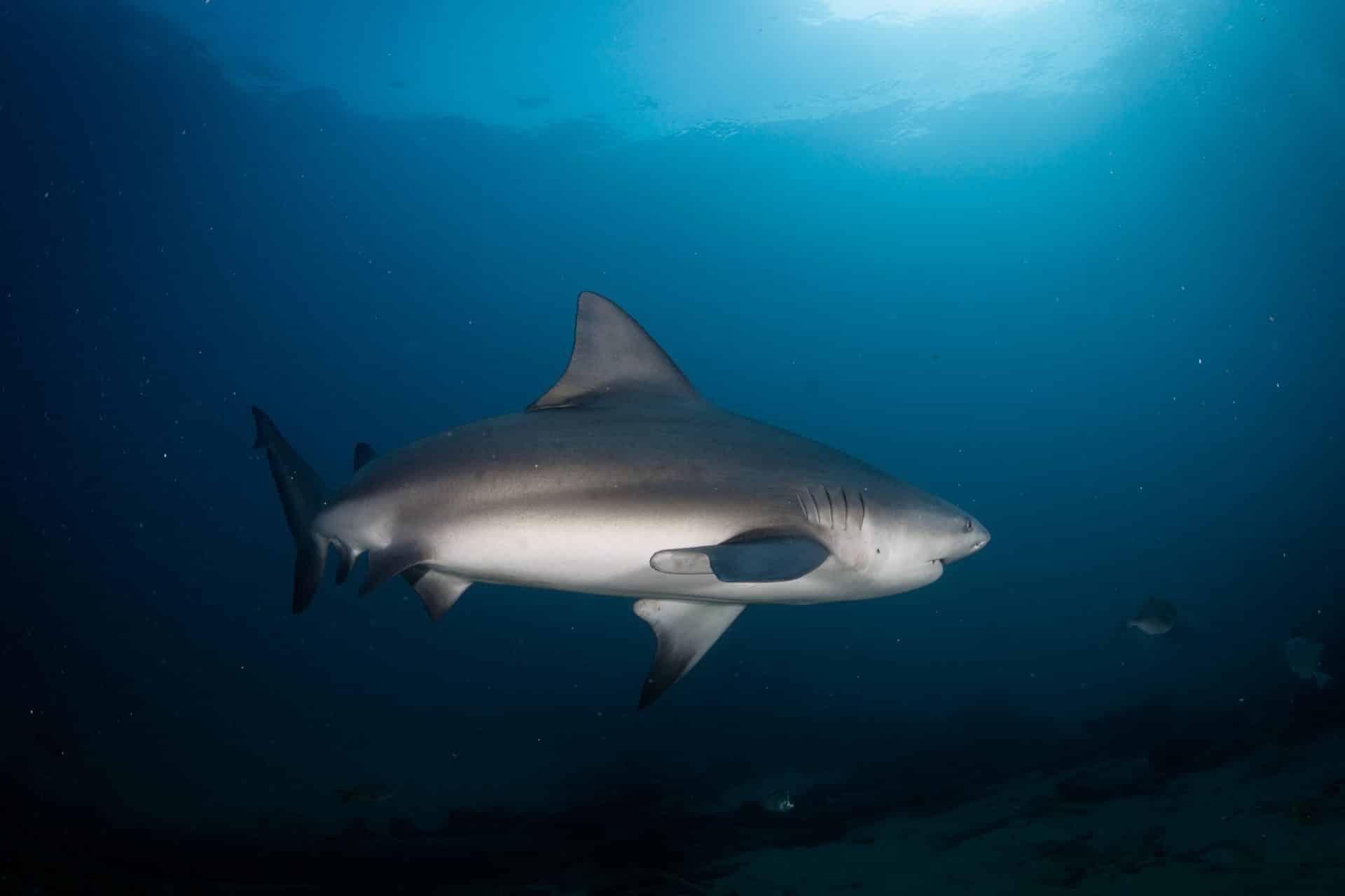 Bull shark diving in Los Cabos