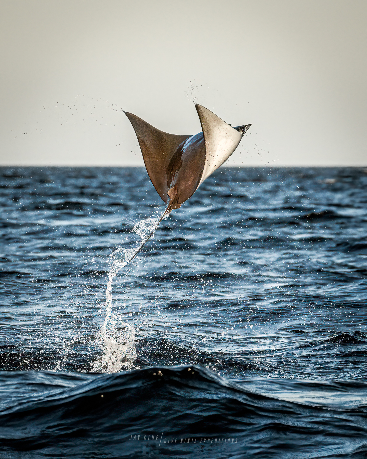 Mobula ray breaching in Baja Mexico by Jay Clue. underwater Wildlife photography workshops