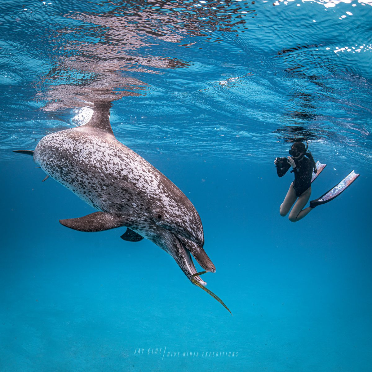 snorkeling with wild dolphins in the Bahamas
