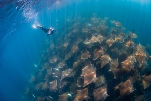 diving with mobula rays in sea of cortez