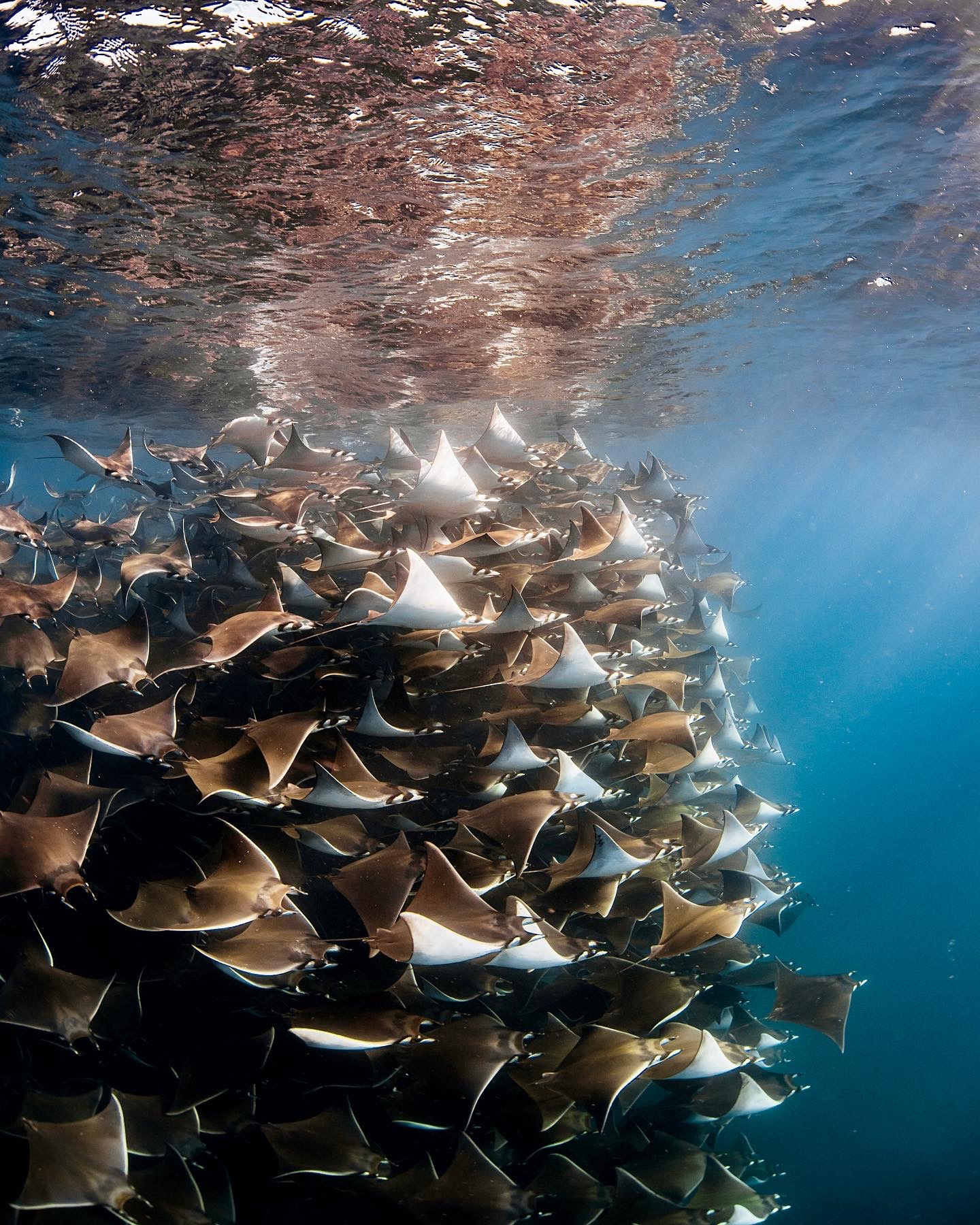 Baja Mobula rays Above & Below Photography Workshop. Photo by Jay Clue for Dive Ninjas